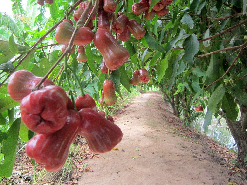 vườn tại khu du lịch ở Cần Thơ- nhà vườn Thảo Nguyên