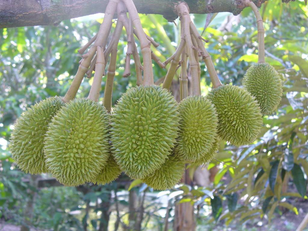 miệt vườn cái mơn với nhiều loại quả