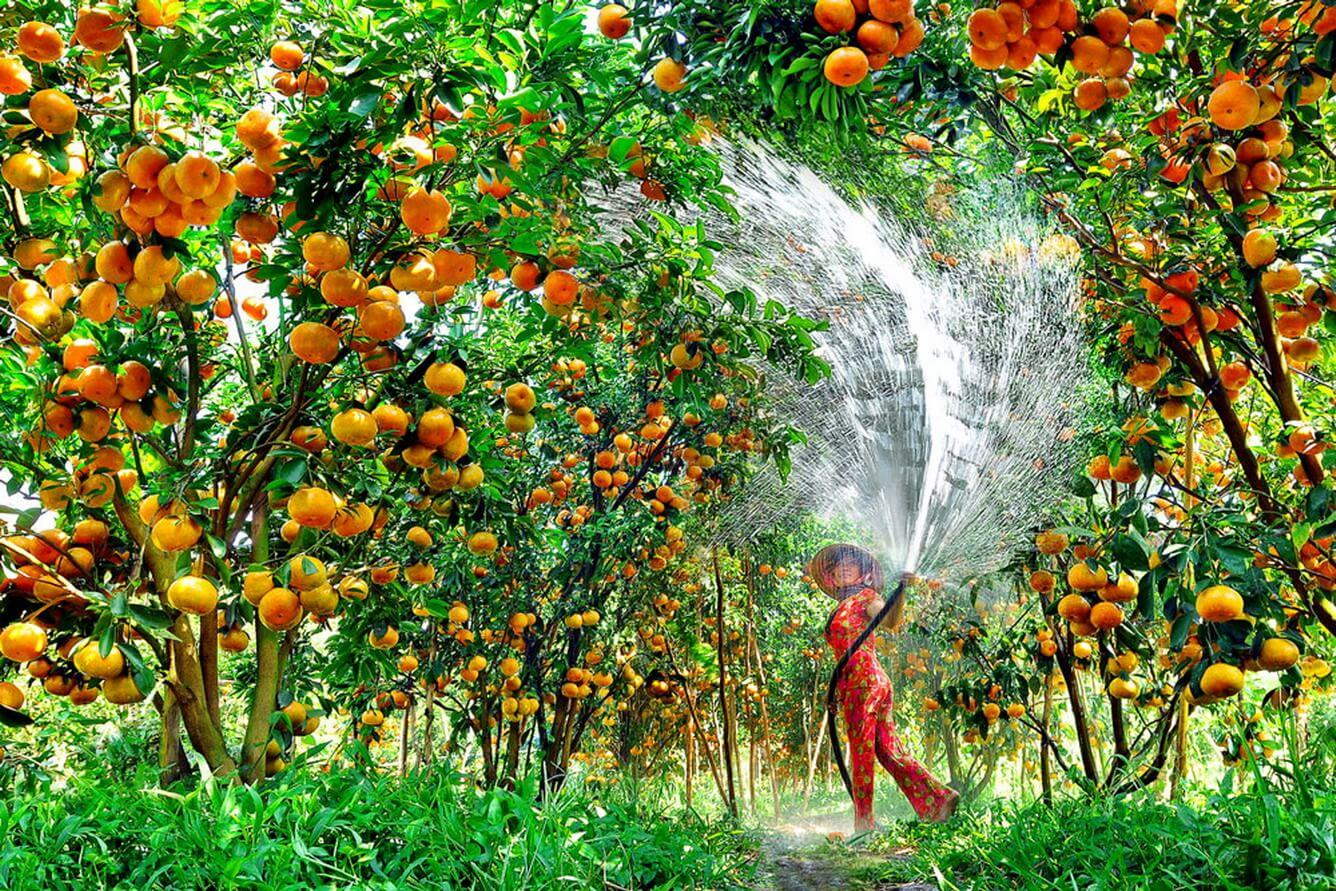 Vườn quýt Lai Vung- khu du lịch sinh thái Đồng Tháp Mười