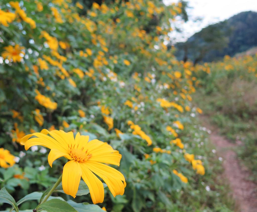 Ngắm hoa dã quỳ Ba Vì cần lưu ý