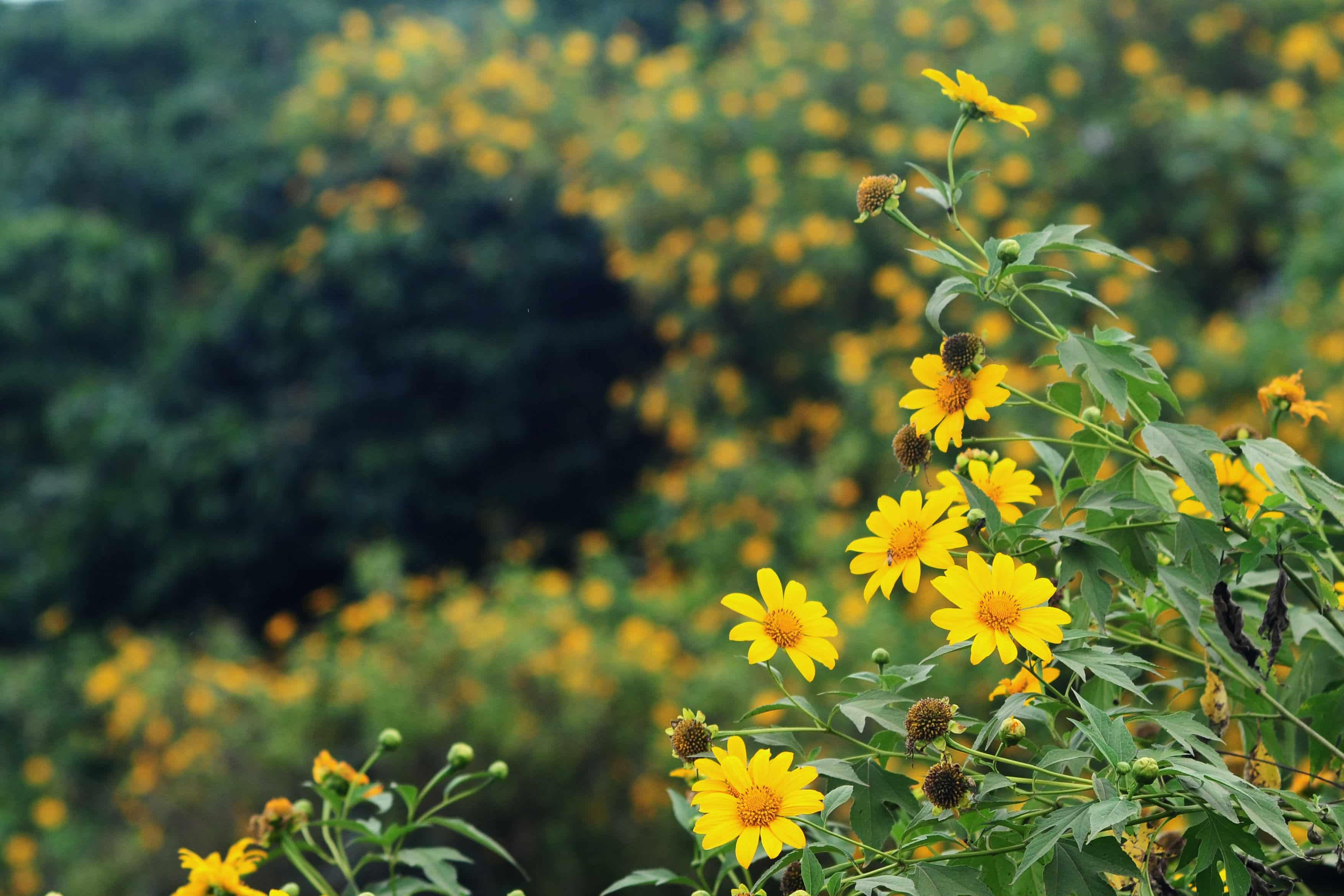 Mùa hoa dã quỳ Ba Vì tháng mấy