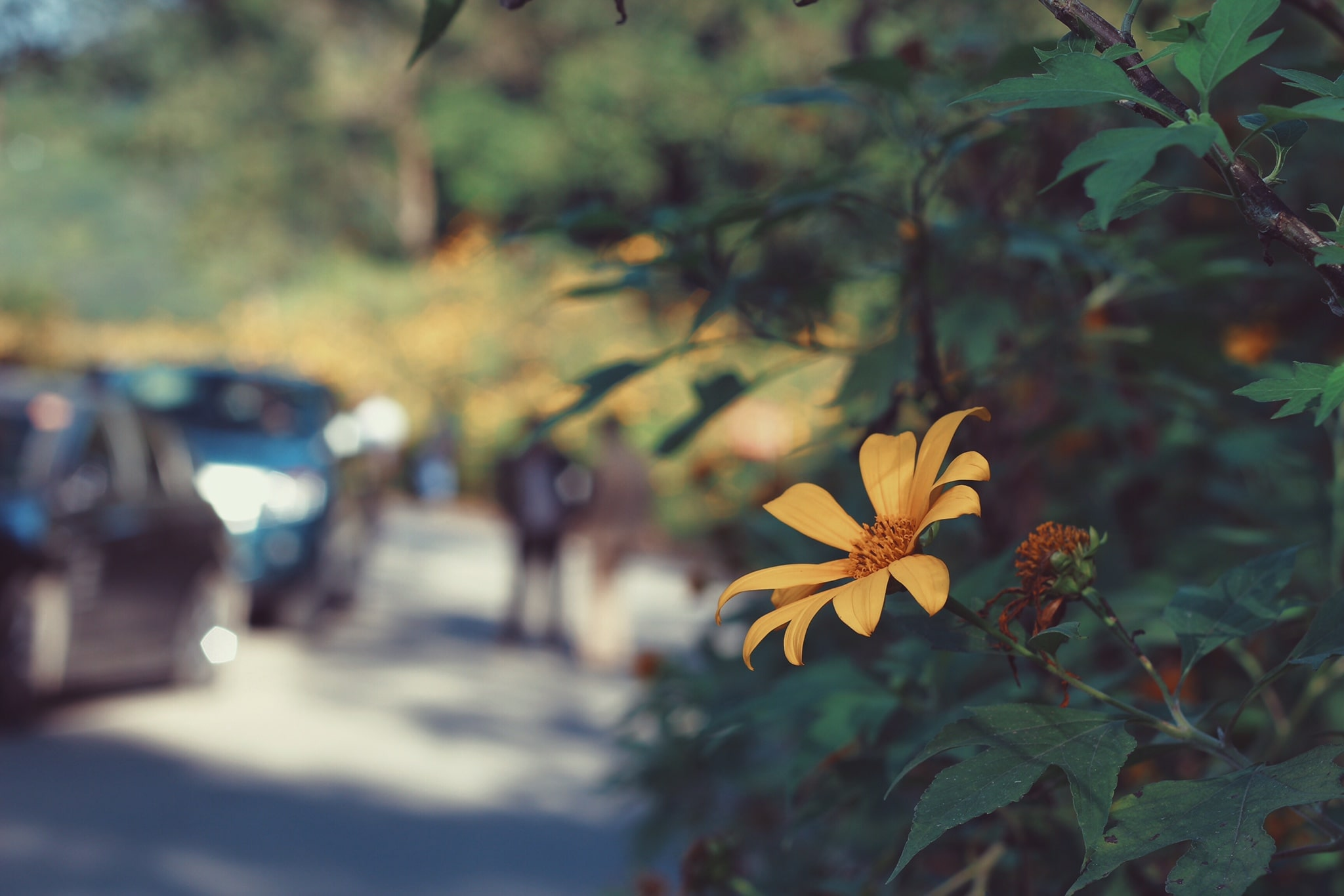 Hướng dẫn di chuyển lên Ba Vì ngắm hoa dã quỳ